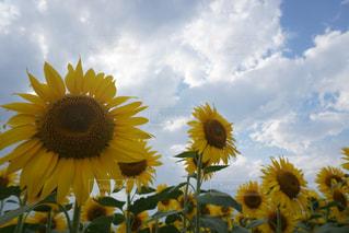 空,花,夏,ひまわり,黄色,鮮やか,山梨
