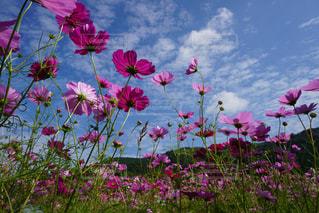 フィールドにピンクの花の写真・画像素材[1489269]