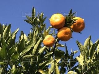 空,果物,樹木,柑橘,伊予柑,みかん狩り,果樹