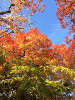 綺麗な青空と紅葉の写真・画像素材[1610704]
