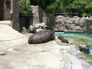 岩の上の動物の写真・画像素材[1366864]