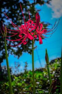 花,秋,彼岸花,曼珠沙華,flower,flowers,blue sky,草木,botanical