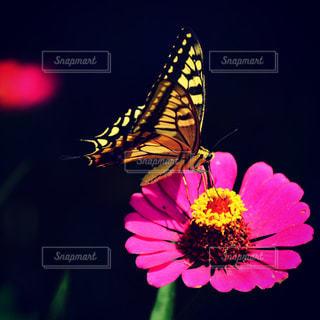 花,ピンク,flower,pink,草木,butterfly,botanical,マゼンタ,鮮,ジニア,みやま市,zinnia