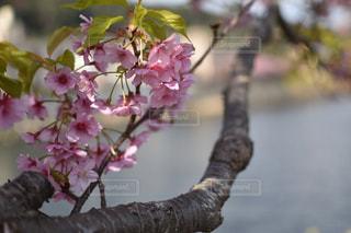 自然,風景,春,桜,旅行,川津桜,川津町