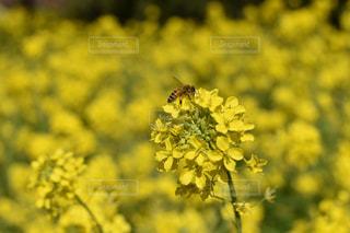 自然,風景,春,黄色,菜の花,黄色い花,蜂,川津町