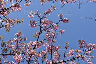 自然,風景,春,桜,旅行,野外,川津桜,川津町