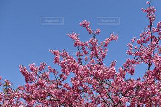 自然,風景,春,桜,屋外,旅行,野外,川津桜,川津町