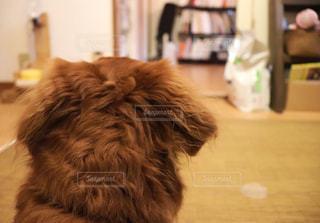 我が家のワンコです(๑˃̵ᴗ˂̵)  後ろ姿  特に耳の後ろが、ふわもこ♥️️😍でかわいいのですーの写真・画像素材[1514647]