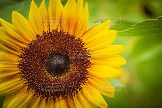 ひまわり,黄色,向日葵,ヒマワリ