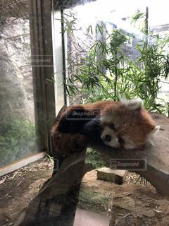 動物,屋外,暑い,樹木,動物園,石,レッサー パンダ