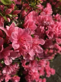 自然,花,屋外,ピンク,植物,ツツジ,草木