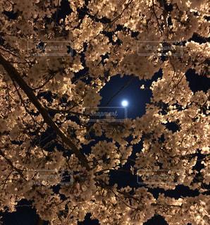自然,花,桜,夜空,屋外,ピンク,植物,樹木,月夜,月と桜,淡い桜色