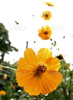自然,花,秋,屋外,コスモス,曇り,オレンジ,9月