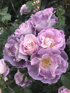 薔薇の写真・画像素材[1369152]