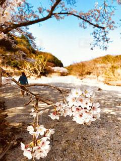 待って、ここに桜咲いてるよ。の写真・画像素材[1374715]
