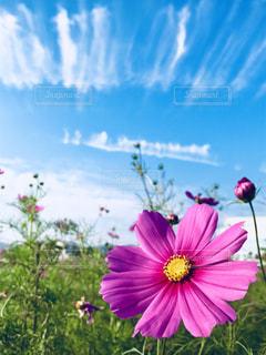 秋空と華麗に咲く秋桜。の写真・画像素材[1374716]