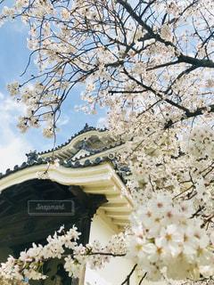 宇和島城と伊達な桜の写真・画像素材[1390953]