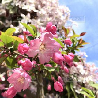 桜と淡いピンクのお花の写真・画像素材[1391037]