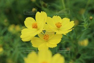 花,黄色いコスモス,立川昭和記念公園,イエローキャンパス