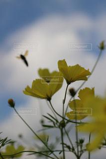 黄色いコスモスと蜂の写真・画像素材[1481895]