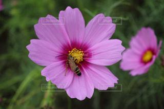 コスモス,蜂,草木