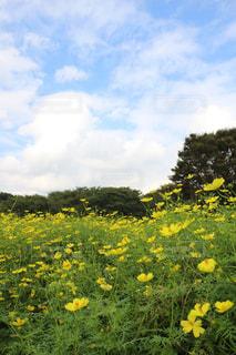花,黄色,黄色いコスモス,立川昭和記念公園