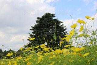 空,花,黄色,草木,立川昭和記念公園