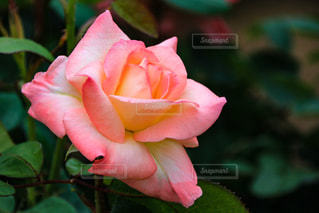 雨の日の薔薇の写真・画像素材[1371606]