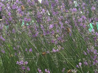 紫色の花一杯の花瓶の写真・画像素材[1371906]