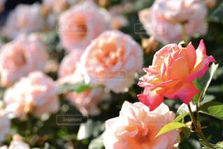 ピンク,バラ,薔薇,イングリッシュガーデン,rose,pink,フォトジェニック,インスタ映え