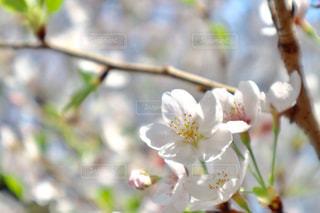 ソメイヨシノの写真・画像素材[1375360]