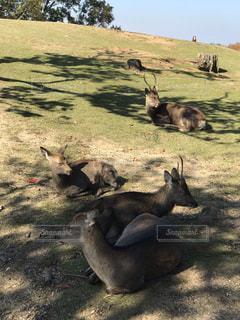 三笠山山頂の鹿の写真・画像素材[1628791]