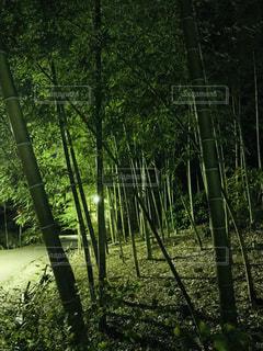 竹やぶの夜景の写真・画像素材[1690545]