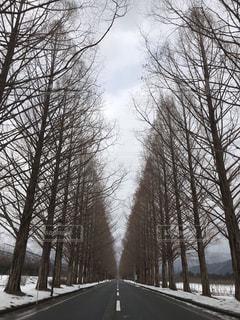雪のメタセコイアの並木道の写真・画像素材[1805580]