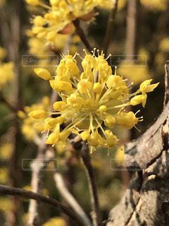春を呼ぶサンシュウの黄色い花の写真・画像素材[1845736]