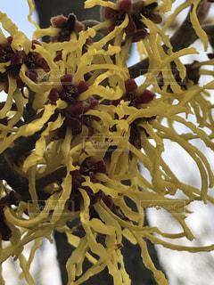 花,黄色,黄色い花,樹木,三月,マンサク,マンサクの花