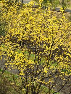自然,風景,花,屋外,黄色い花,樹木,奈良市,サンシュウ,万葉の小径,イエローゾーン