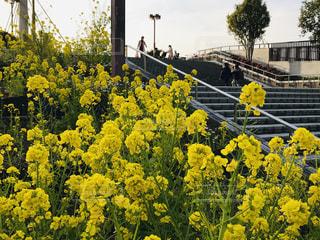 花,春,屋外,階段,黄色,菜の花,景色,駅前,京都府,草木,高の原駅,近鉄京都線