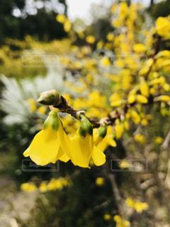 レンギョウの黄色い花の写真・画像素材[1864277]