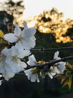 夕映え桜の写真・画像素材[2036124]