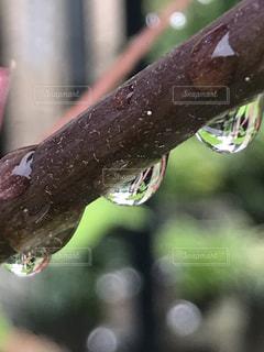 デイゴの雨滴の写真・画像素材[2160673]