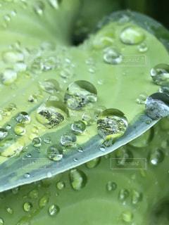 ギボウシの葉の雨滴の写真・画像素材[2160682]