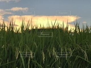 稲穂と夕映えの雲の写真・画像素材[2422099]