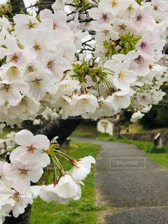 花,春,桜,静寂,サクラ,樹木,遊歩道,小径,万葉の小径