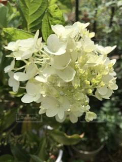 庭に咲く紫陽花の写真・画像素材[1382925]