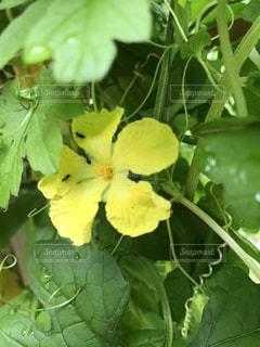 庭のゴーヤの花にアリの写真・画像素材[1387674]