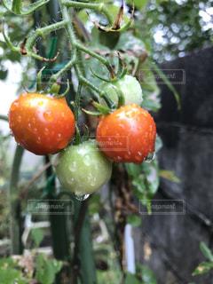 庭のトマトの写真・画像素材[1387680]