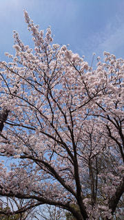 春,桜,樹木