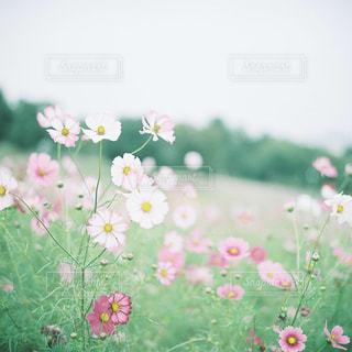 自然,花,花畑,東京,ピンク,緑,コスモス,秋桜,昭和記念公園,フィルム,立川,畑,曇,コスモス畑,フィルムカメラ,草木,フォトジェニック,こすもす,インスタ映え