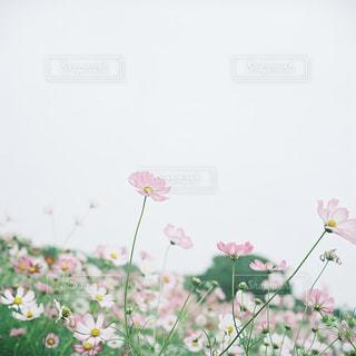 自然,空,花,花畑,木,東京,ピンク,緑,コスモス,秋桜,昭和記念公園,フィルム,立川,畑,曇,コスモス畑,フィルムカメラ,フォトジェニック,こすもす,インスタ映え